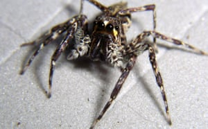 New Species Discovered: Spider in The Kaijende highlands and Hewa wilderness Papua New Guinea