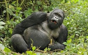 Week in Wildlife: Mountain gorillas drunk on bamboo, Rwanda, Africa