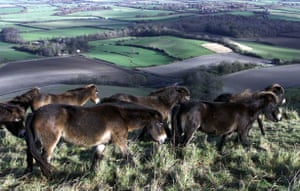South Downs National Park: Exmoor Ponies  On South Downs