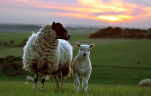 South Downs National Park: Sheep at sunset where the South Downs meets Beachy Head above Eastbourne
