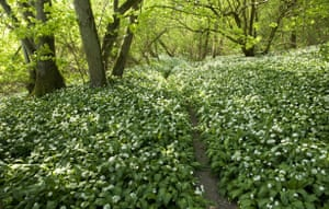 South Downs National Park: England, West Sussex, South Downs, path through flowering wild garlic