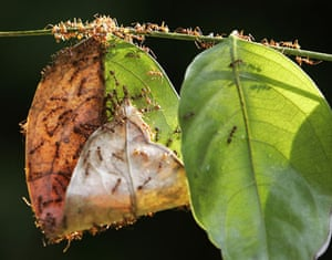 Ants: A colony of weaver ants build their nest from leaves