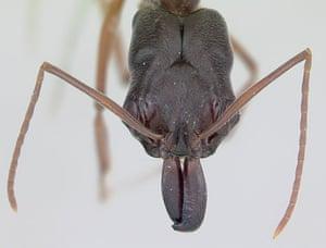 Ants: Trap jaw ants