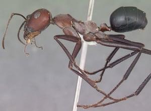 Ants: The Sahara desert ant