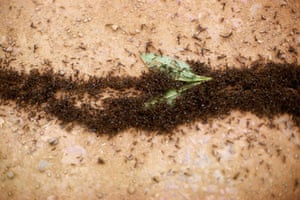 Ants: Thick Line of Nomad Ants