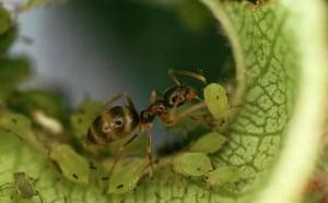 Ants: Argentine Ant Farming Aphids