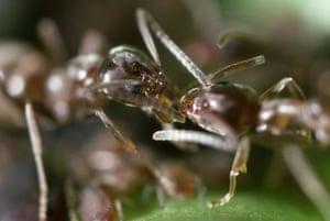 Ants: Argentine Ants