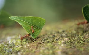 Ants: Leaf-Cutting Ant Carrying Leaf and Ant