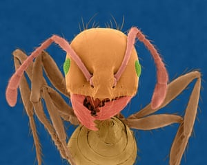 Ants: Head of Red Imported Fire Ant