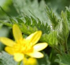 Nettles are a perfect food for wild foraging