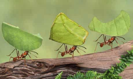 Leaf cutter ants (Atta cephalotes) carrying leaves