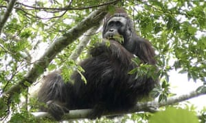 An orang-utan from the newly found population in Borneo