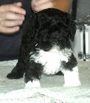 The Obama family's dog Bo: Bo in Texas at his breeders when he was 6 1/2-weeks-old