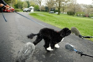 The Obama family dog Bo: Bo sniffs a microphone during his introduction to the White House press