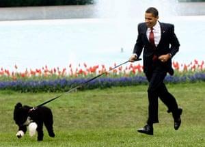 The Obama family dog Bo: Barack Obama walks Bo on the South Lawn of the White House