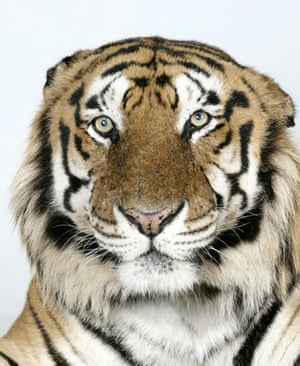 Bengal tigers: Raja, a 16 year old male Standard Royal Bengal Tiger