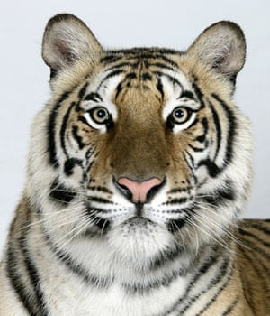 Bengal tigers: Jannaki, a 2 year old female Standard Royal Bengal Tiger