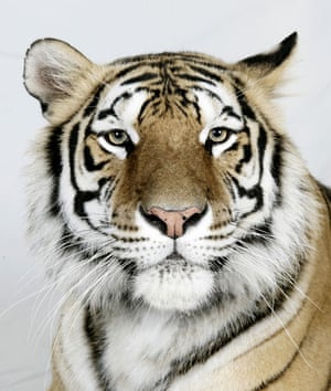 Bengal tigers: Kanja, a 6 year old female Standard Royal Bengal Tiger