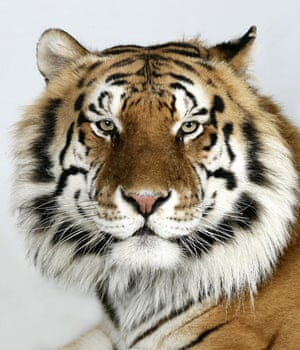 Bengal tigers: Manu, a 8 year old male Standard Royal Bengal Tiger