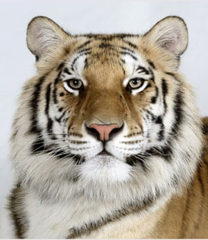 Bengal tigers: Matsu, a 2 year old female Standard Royal Bengal Tiger