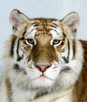 Bengal tigers: Karupa, one of only 30 Golden Tabby Bengal Tigers in the world