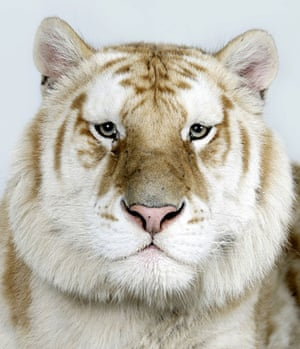 Bengal tigers: Kahn, one of only 30 Golden Tabby Bengal Tigers left in world