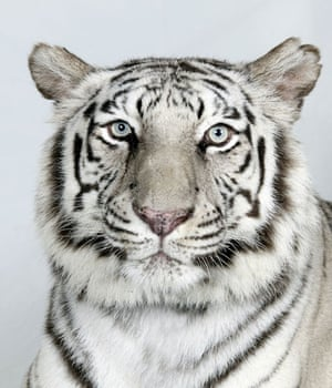 Bengal tigers: Sukino, a 10 year old female, Royal White Bengal Tiger