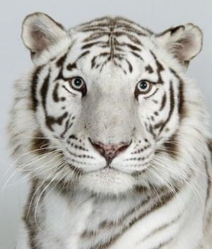 Bengal tigers: Ganga, a 8 year old female, Royal White Bengal Tiger