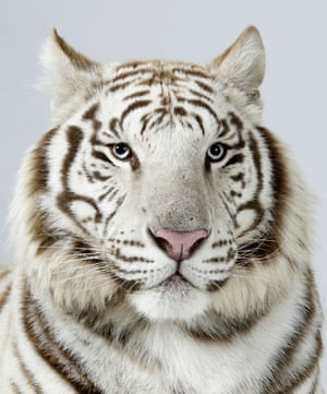 Bengal tigers: Narayana, a 3 year old male, Snow White Bengal Tiger