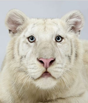 Bengal tigers: Ohjas, a 1 year old male, Snow White Bengal Tiger