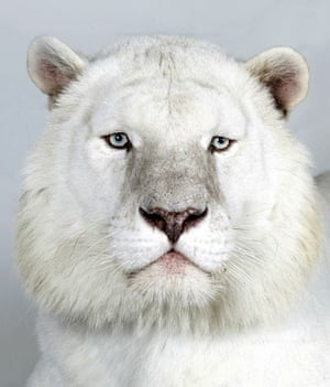 Bengal tigers: Kaylash, a 8 year old male, Snow White Bengal Tiger