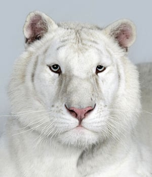 Bengal tigers: Sundari, a 2 year old female, Snow White Bengal Tiger