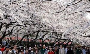 Blossom: Ueno Park Tokyo