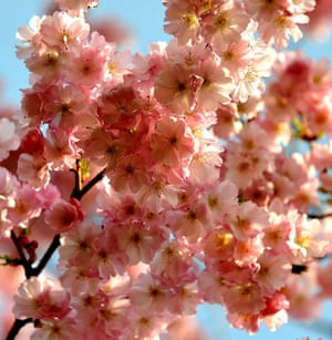 Blossom: Cherry blossom in full bloom at a park in London