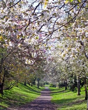 Blossom: A tunnel of white blossom