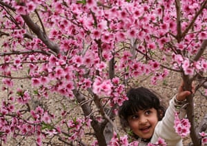 Blossom: Palestinian girl looks at cherry blossom in a park Hebron