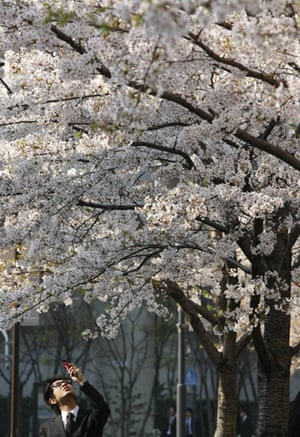 Blossom: A man takes a photo of cherry blossoms with his mobile phone in Tokyo