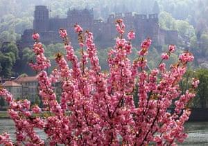 Blossom: Almond tree blossom alongside river Neckar in Heidelberg, Germany