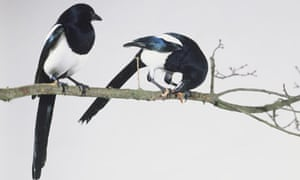 Two Black-billed magpies