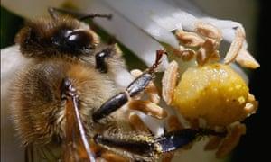 Week in wildlife : A honeybee pollinates a flower in a citrus grove, Israel