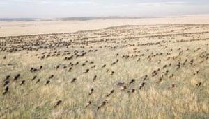Masai Mara, Kenya: Aerial View of Migrating Wildebeests