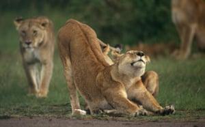 Masai Mara, Kenya: Lion Stretching