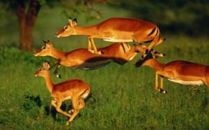 Masai Mara, Kenya: Impala
