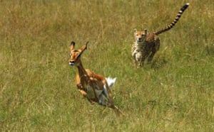 Masai Mara, Kenya: Cheetah chasing female Impala
