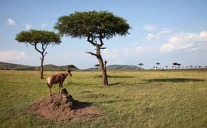 Masai Mara, Kenya: A Topi antilope