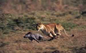 Masai Mara, Kenya: Lioness Hunting Warthog
