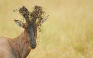 Masai Mara, Kenya: Topi with Grass and Mud on Horns