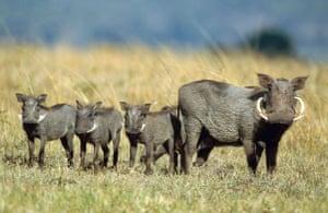Masai Mara, Kenya: Africa, Kenya, Masai-Mara Game Reserve, warthog, mother with three cubs