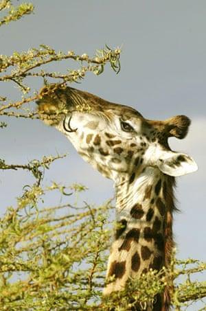 Masai Mara, Kenya:  Giraffe