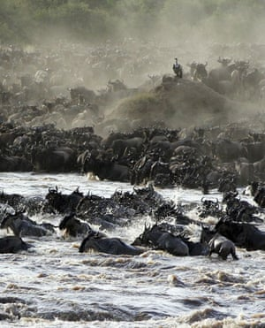 Masai Mara, Kenya: An African vulture watches part of a herd of some 1.5 million wildebeests